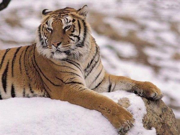 fond d'écran tigres - Page 3 F249e282