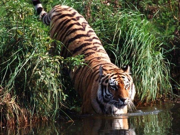 fond d'écran tigres Fd4c479b