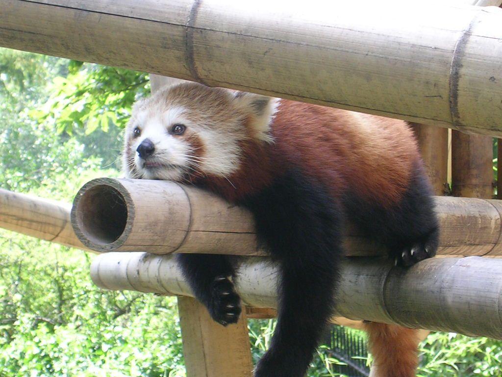 fond d ecran de panda